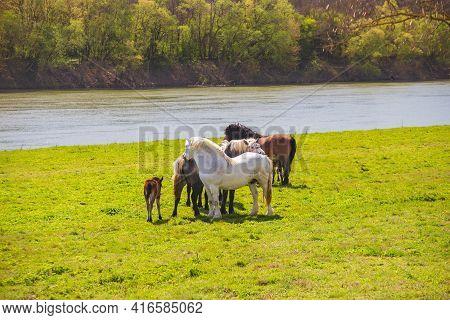 Horses On Meadow Next To Sava River In Spring In Nature Park Lonjsko Polje, Croatia