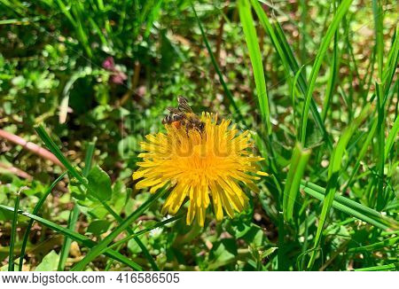 Honey Bee Collecting Pollen Form Yellow Dandelion Flower, Also Known As Irish Daisy, Puff Ball And P