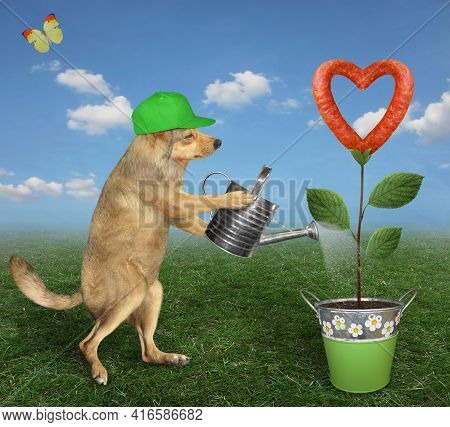 A Beige Dog Gardener In Green Cap Is Watering A Sausage Flower That Growing In A Metal Pail In The M