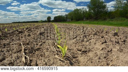 Growing Corn In The Agriculture Field. Corn Seedlings, Sprouts Growing On Dry Sandy Soil. Agricultur