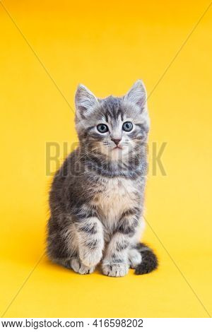 Cute Kitten On Color Yellow Background. Kid Animal, Gray Small Tabby Cat Isolated On Yellow Backgrou