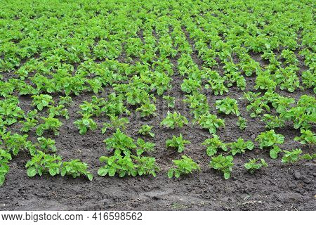 Potato Cultivation. Growing Potatoes. A Field With Young Potato Plants Before Hilling.