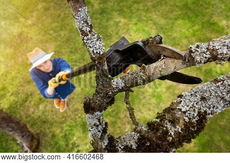 Woman Cut Old Apple Tree Branch With Telescopic Tree Pruner