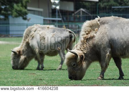 Silver And Silver Pied Bison. The American Bison Or Simply Bison (bison Bison), Also Commonly Known