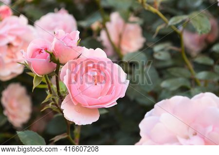Selective Focus Pink Roses With Buds Bloom In Garden On Blurred Background Of Rose Bushes. Bush Of R