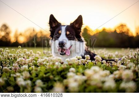 Border Collie Enjoying A Field With Purple Flowers, Portrait Of A Trained Dog