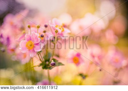 Spring Autumn Sunset Sunrise Anemones Flowers, Nature Beautiful, Toning Design Abstract Nature. Rela