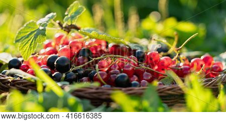 A Mixture Of Garden Berries: Red Currants And Black Currants In A Wicker Basket On Green Grass On A