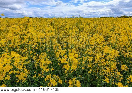 Many Yellow Flowers Of A Rapeseed Field In Summer. Arable Land With Crops Of The Cruciferous Family.