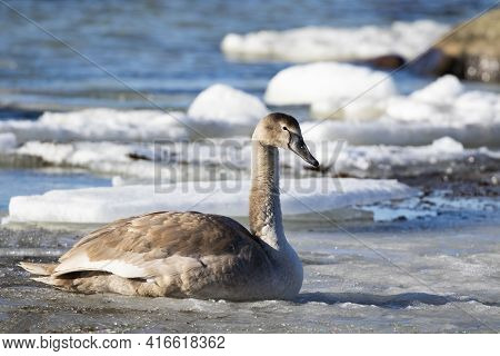 Beautiful Juvenile Mute Swan (cygnus Olor) Lying On The Melting Ice During Spring