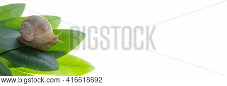 Snail On A Green Leaf Isolated On White Background . Snail Cosmetics Banner.snail Slime. Snail Mucin