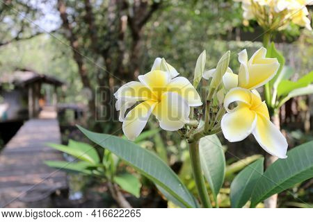 Branch Of Beautiful Tropical Flowers Frangipani (plumeria) In The Garden, Thailand.