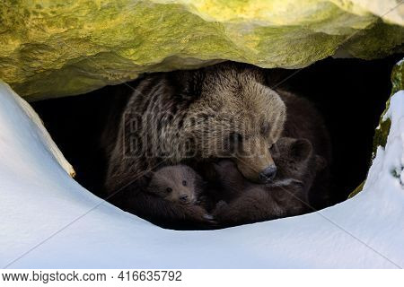 Brown Bear (ursus Arctos) With Two Cubs Looks Out Of Its Den In The Woods Under A Large Rock In Wint