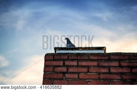 Lonesome Pigeon Standing On A Building's Rooftop With Beautiful Blue Sky In The Background. A Pigeon