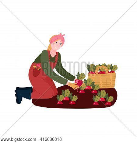 Woman Harvesting Organic Radishes. Farmer Grow Vegetables In Farm. Female Cultivation Eco Radish In