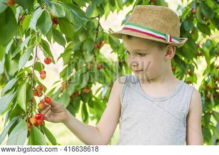 Little Boy Is Picking Ripe Cherries From A Tree In Cherry Garden. The Child Picks Up Sweet Cherries