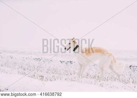 Russian Wolfhound Hunting Sighthound Russkaya Psovaya Borzaya Dog During Hare-hunting At Winter Day
