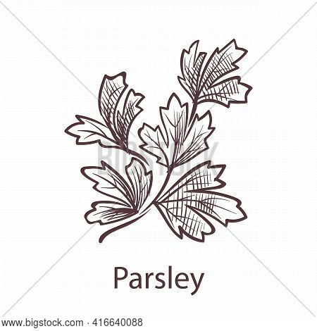 Parsley Leaves And Plant. Engraving Isolated Herbs And , Hand Drawn Leaf In Retro Style, Detailed Or