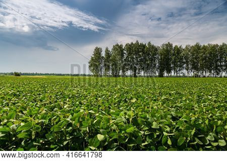 Close-up Of A Soybean Plant Field Under A Blue Sky On A Summer Day