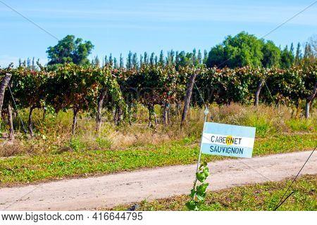 Cabernet Sauvignon grape plantation in Argentina