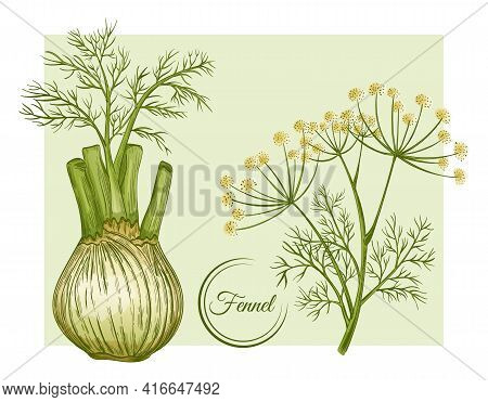 Fresh Fennel Bulb And Stem. Spice Herb Root.  Flowering Botanical Plant. Stalk With Seeds And Leaves