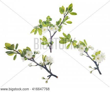 plum tree flowers isolated on white background