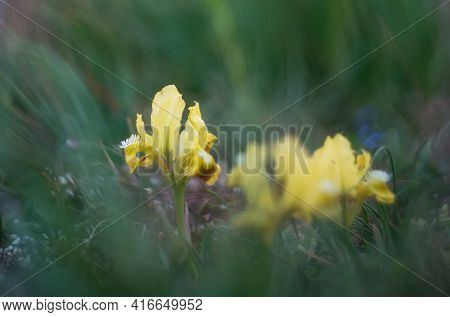 Spring Flowers Wild Irises. Yellow Iris On A Blurred Green Background With A Copy Of The Space. Beau