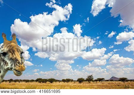Travel to Africa. The magical desert in Namibia. The flat savanna is covered with dry yellow grass and rare desert acacias. Magnificent desert animals. Curious giraffe