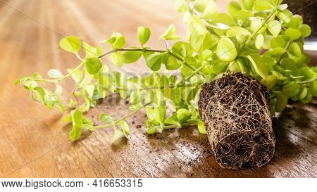 Close-up Of Green Home Peperomia Plant With Roots On Wooden Table Ready For Planting In Flowerpot. I
