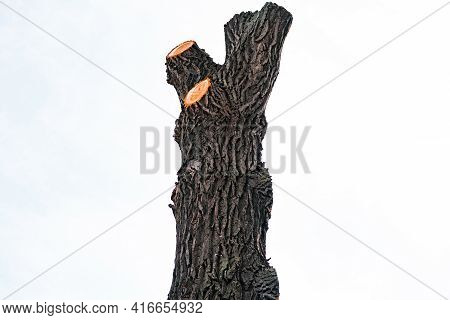 Large Bare Of Tree Without Leaves, Trimmed Branches Away Until Only The Stump Of Tree On A White Bac