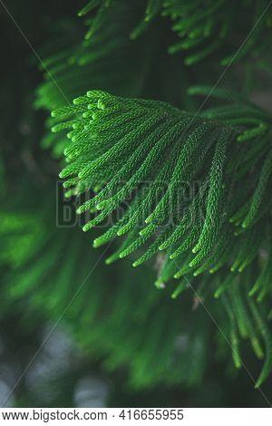 Araucaria Tree On The Taiwan , Deep Green Color