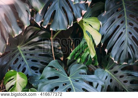 Monstera Green Leaves Or Monstera Deliciosa, Background Or Green Leafy Tropical Forest Patterns.