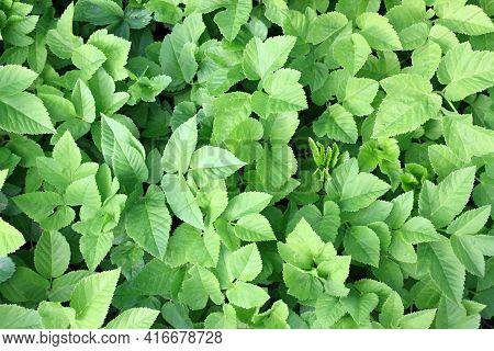 Aegopodium Podagraria, Also The Ground Elder  Or Herb Gerard, Bishop's Weed, Gout Weed. Natural Back