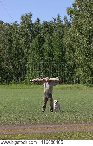 Strong Man In Hiking Clothes Carries Large Log On His Shoulders From Forest. Labrador Dog Runs Nearb