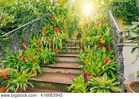 Plants Of Tropical Raw Bromeliad Forest On Display On An Ancient Staircase In A Greenhouse Garden