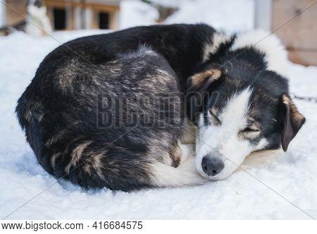 Sleeping Alaskan Husky Sled Dog, Curled Up In The Snow.