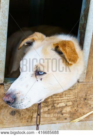 Close Up Of A Blue Eyed Alaskan Husky Sled Dog.