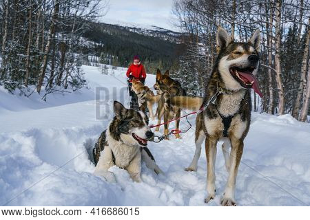 Alaskan Husky Sled Dogs Ready To Go In Arctic Mountain Wilderness.