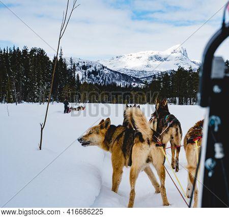 Alaskan Huskies Sled Dogs, Mushing Through A Snowy Winter Wilderness.