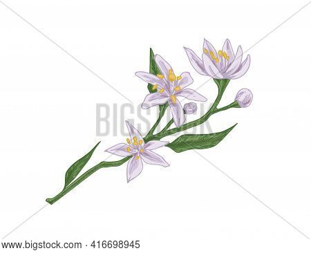 Branch Of Blooming Citrus Tree With Gentle Blossomed Flowers And Unblown Buds Isolated On White Back