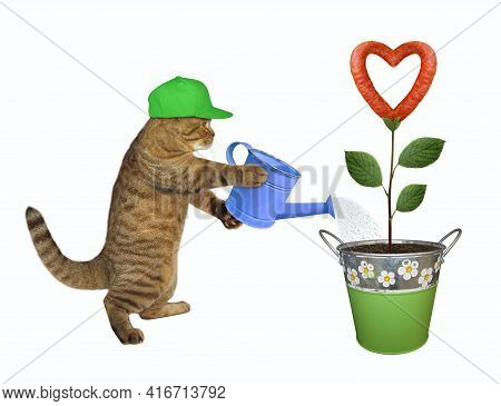 A Beige Cat In Green Cap Gardener Is Watering A Sausage Flower That Growing In A Metal Pail. White B
