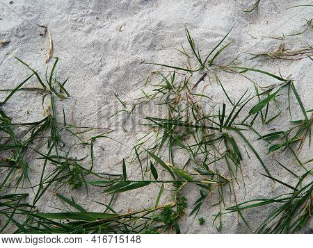 Lyme Grass Leymus Arenarius In The Sand Of A Beach Sea Shore Dune By The Baltic Sea With Space For G