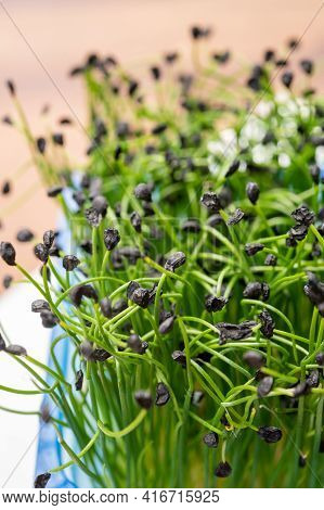 Young Sprouts Plants Of Green Chives Onion Ready For Consumption