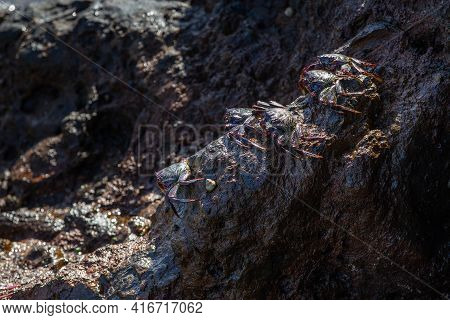 Group Of Big Crabs Resting On The Volcanic Stones