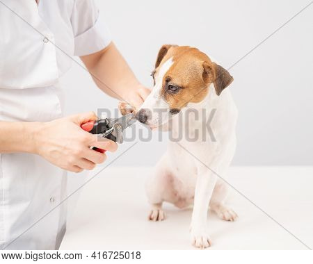 The Veterinarian Cuts The Dog Jack Russell Terriers Claws On A White Background.