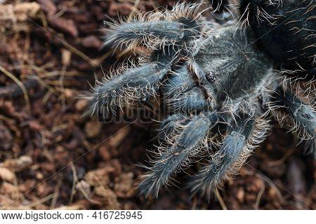Closeup Big Spider Tarantula (brachypelma Albopilosum) Often Kept As A Pet.