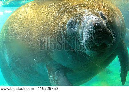 Manatee Underwater In Crystal River National Wildlife Refuge, Florida, United States. Caribbean Mana