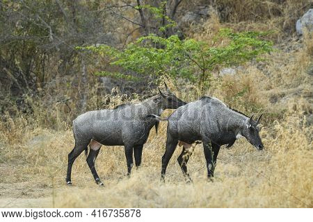 Two Adult Male Nilgai Or Blue Bull Or Boselaphus Tragocamelus Largest Asian Antelope At Ranthambore