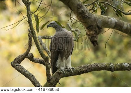 Lesser Fish Eagle Or Haliaeetus Humilis Portrait Perched In Natural Green Background At Dhikala Zone