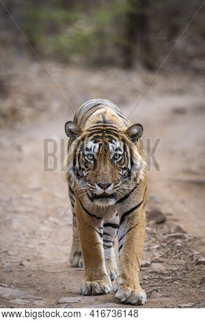 Wild Royal Bengal Male Tiger Walking Head On And Gazing Or Staring During Outdoor Jungle Safari At R